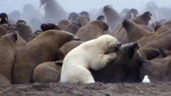 Thiếu sữa cho con, gấu Bắc Cực mẹ liều lĩnh áp sát kẻ thù to lớn: Một thước phim cảm động! - Ảnh 3.