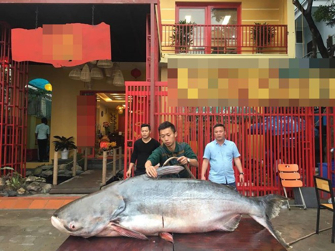 Thực hư chuyện đại gia Hà Nội mua cá khổng lồ giá trăm triệu về ăn Tết - Ảnh 3.