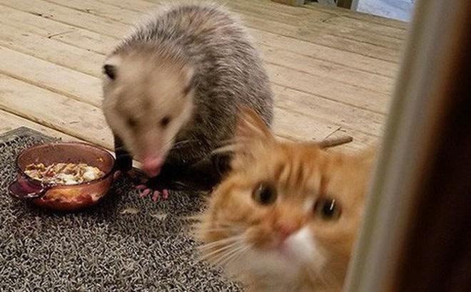 [Vui] Thêm một chú mèo nổi như cồn trên mạng vì phản ứng cực dễ thương khi bị cướp đồ ăn