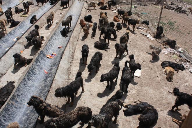 Bi kịch của Ngao Tây Tạng - từ thần khuyển triệu đô thành những con thú bị ruồng bỏ - Ảnh 8.