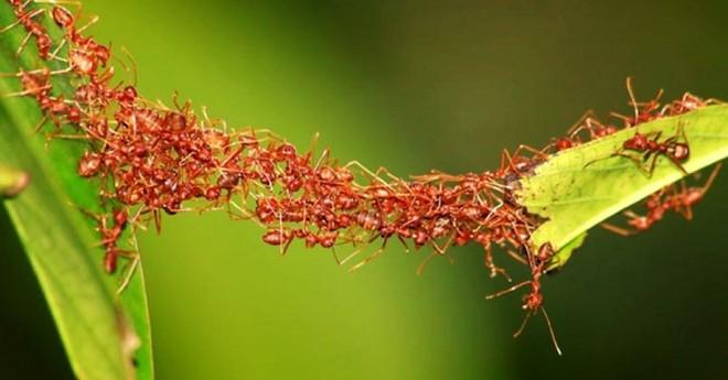 Giải mã quy tắc xây cầu vượt có 1-0-2 của loài kiến - Ảnh 4.