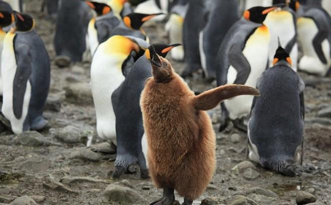 """Khi """"hoàng đế"""" băng hà: Vua của chim cánh cụt có thể vĩnh viễn bị xóa sổ trong tương lai gần"""