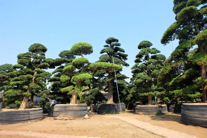 Vườn cây Nhật nghìn tỷ ở Hà Nội: 17 tỷ đồng cây tùng la hán 600 tuổi - Ảnh 1.