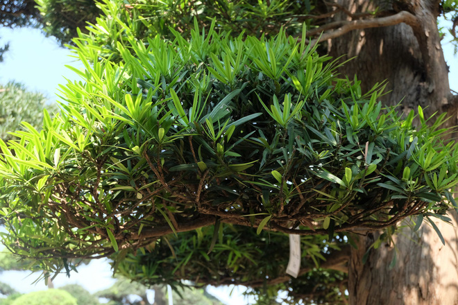 Vườn cây Nhật nghìn tỷ ở Hà Nội: 17 tỷ đồng cây tùng la hán 600 tuổi - Ảnh 9.
