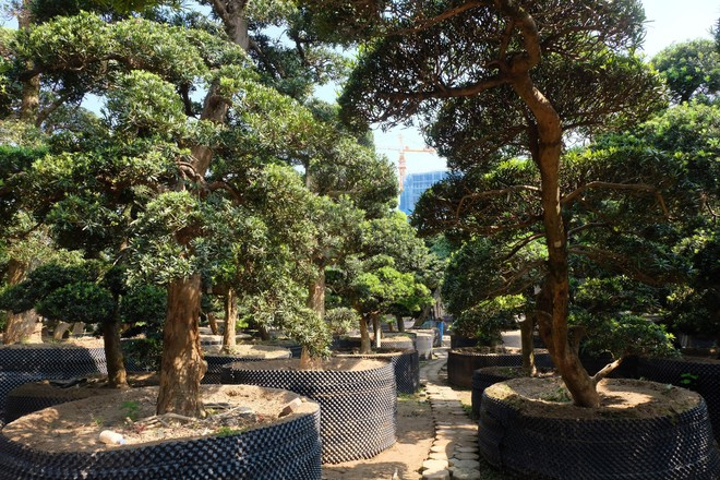 Vườn cây Nhật nghìn tỷ ở Hà Nội: 17 tỷ đồng cây tùng la hán 600 tuổi - Ảnh 3.