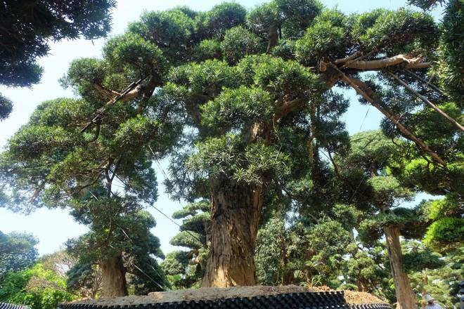 Vườn cây Nhật nghìn tỷ ở Hà Nội: 17 tỷ đồng cây tùng la hán 600 tuổi - Ảnh 7.