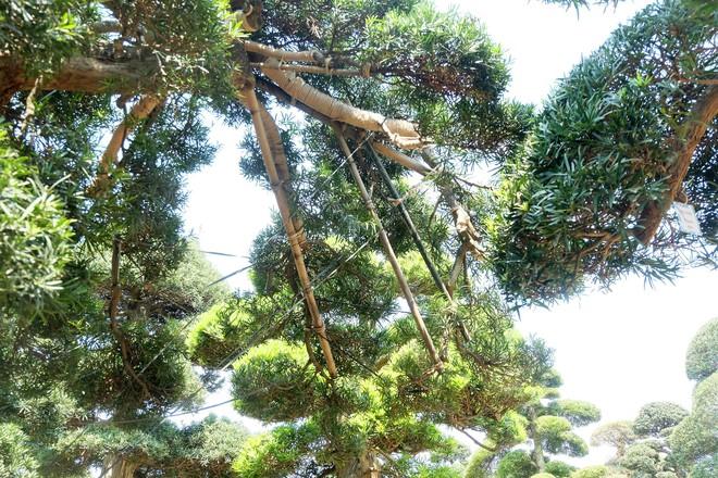 Vườn cây Nhật nghìn tỷ ở Hà Nội: 17 tỷ đồng cây tùng la hán 600 tuổi - Ảnh 8.