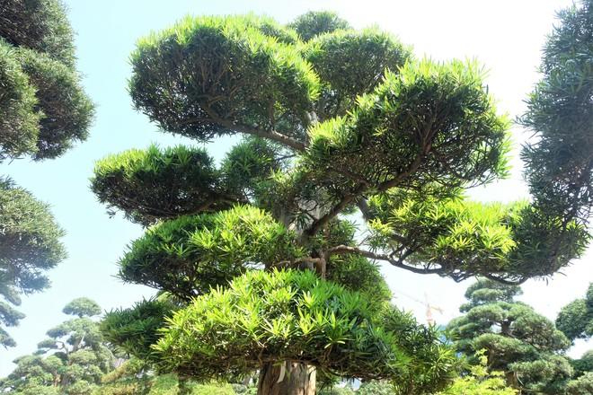 Vườn cây Nhật nghìn tỷ ở Hà Nội: 17 tỷ đồng cây tùng la hán 600 tuổi - Ảnh 2.
