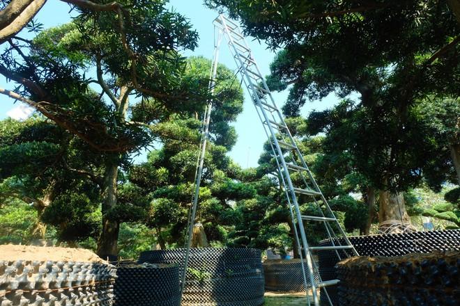 Vườn cây Nhật nghìn tỷ ở Hà Nội: 17 tỷ đồng cây tùng la hán 600 tuổi - Ảnh 5.