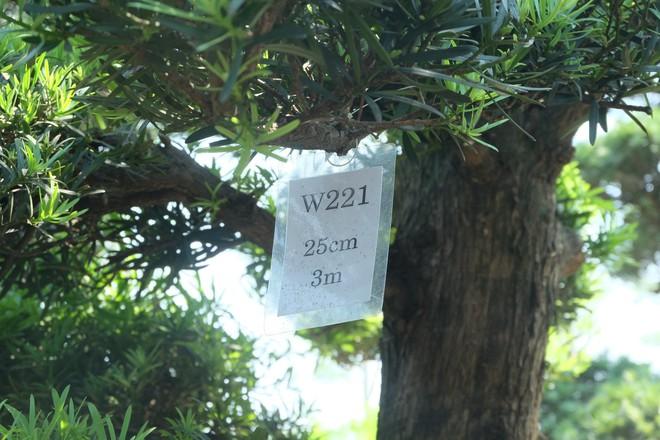Vườn cây Nhật nghìn tỷ ở Hà Nội: 17 tỷ đồng cây tùng la hán 600 tuổi - Ảnh 4.