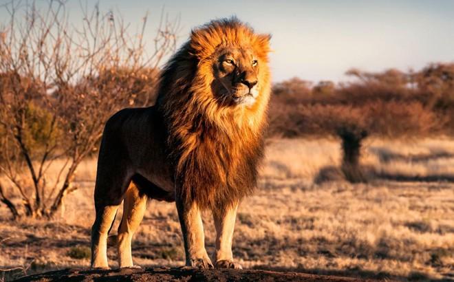 Kết quả hình ảnh cho sư tử con hỏi bố