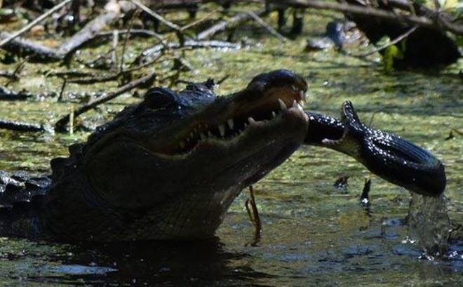 24h qua ảnh: Cá sấu mẹ tung đòn nghiền nát rắn để bảo vệ con