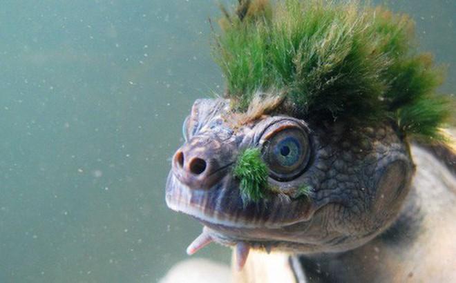 Loài rùa tóc xanh