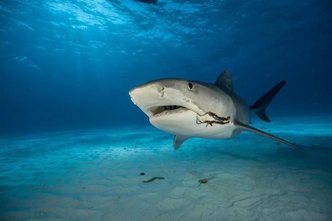 """Nỗi ám ảnh về con cá """"tàn ác"""" và kẻ thù lớn nhất của loài cá mập hổ - Ảnh 5."""