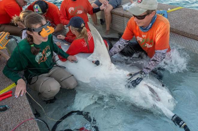 """Nỗi ám ảnh về con cá """"tàn ác"""" và kẻ thù lớn nhất của loài cá mập hổ - Ảnh 2."""