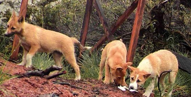 Phát hiện loài chó nguyên thủy ở đỉnh núi hẻo lánh nhất thế giới! - Ảnh 3.