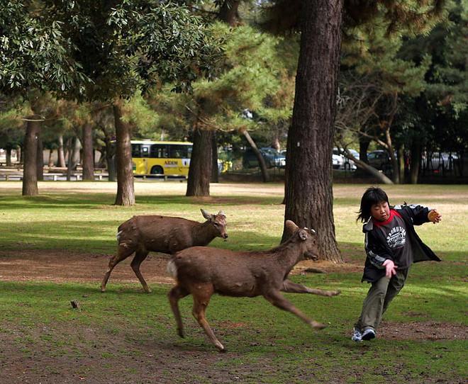 Một cậu bé chạy rẽ đất khi bị hai chú hươu nhỏ tấn công.
