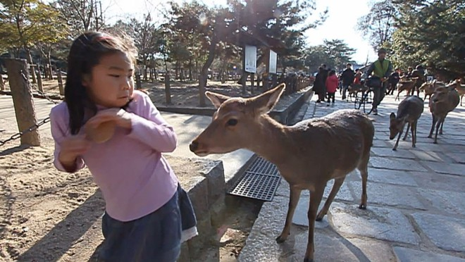 Tay cầm bánh mà lại chưa cho hươu ăn, cô bé này bị một thanh niên hươu kém ý tứ soi mói tới phát sợ.
