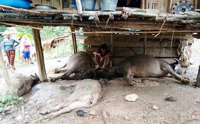Sét đánh chết đàn trâu, người dân góp tiền mổ thịt ủng hộ chủ