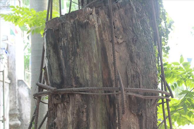Dân xót xa nhìn cây sưa 100 tỉ đồng chết dần mà không được bán - Ảnh 3.