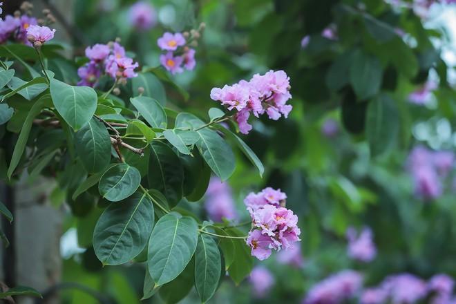 Ngắm hoa bằng lăng nhuộm tím trời Hà Nội - Ảnh 2.