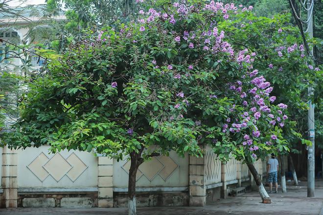 Ngắm hoa bằng lăng nhuộm tím trời Hà Nội - Ảnh 4.