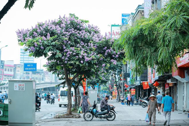 Ngắm hoa bằng lăng nhuộm tím trời Hà Nội - Ảnh 8.