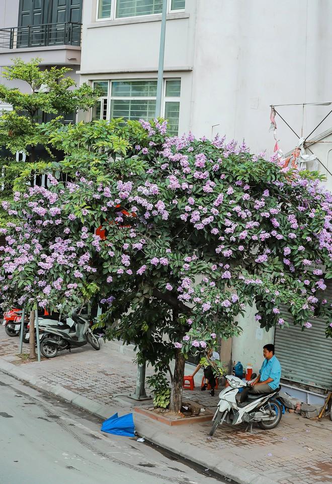 Ngắm hoa bằng lăng nhuộm tím trời Hà Nội - Ảnh 20.