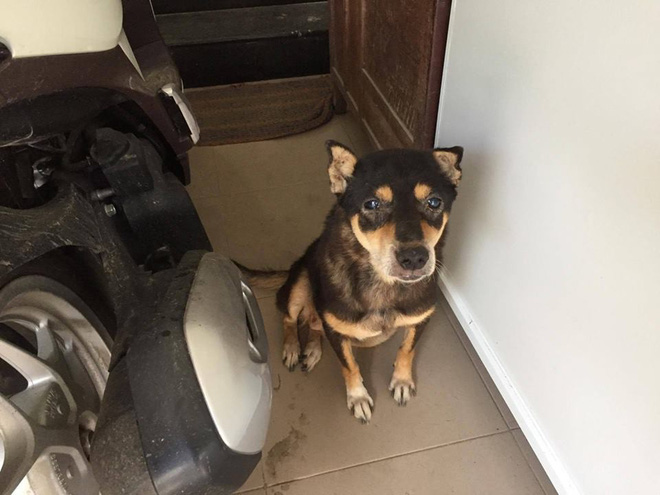 Chú chó tên Bin cao số và hành trình ba lần mất tích nhưng vẫn chạy thoát về nhà - ảnh 1