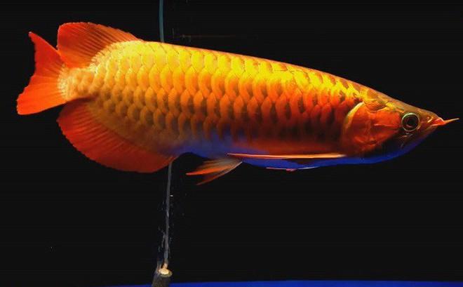 Kết quả hình ảnh cho cá huyết long