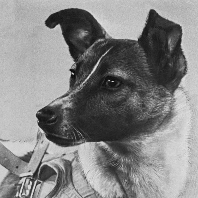 Nước mắt cô độc của Laika: Câu chuyện buồn của chú chó phi hành gia Liên Xô - Ảnh 2.