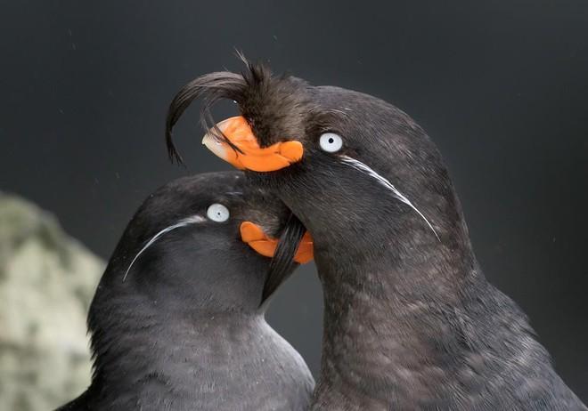 Loài chim này có thể tự tạo ra mùi nước hoa riêng thơm nức mũi để hút bạn đời - Ảnh 1.