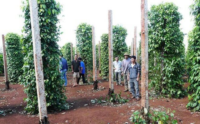 Kẻ gian lẻn vào cắt sát gốc vườn tiêu, chủ vườn nói nhóm xăm trổ từng 'đòi đưa 600 triệu'