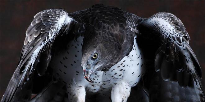 Săn được đại bàng lớn nhất châu Phi, báo đốm đột nhiên hành động khó hiểu khi con mồi chết - ảnh 2