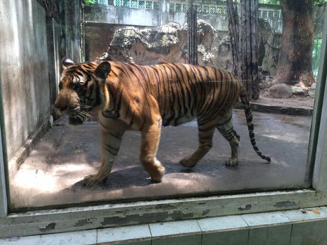 Con hổ bằng bê tông trong Thảo Cầm Viên bất ngờ nổi tiếng trên MXH vì biểu cảm xuất sắc - Ảnh 5.
