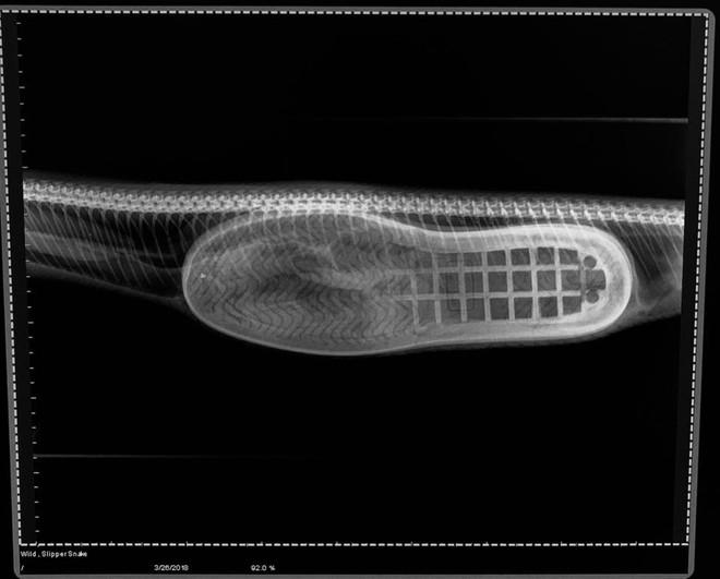 Mổ bụng con trăn, các bác sĩ kinh ngạc với vật thể lạ lấy ra từ dạ dày! - Ảnh 2.