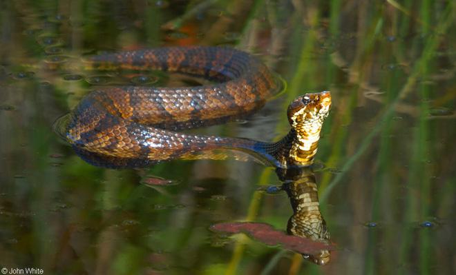 Chủ quan khinh địch, rắn nước kịch độc bị cá sấu phục kích, xơi tái như mì ống! - Ảnh 3.