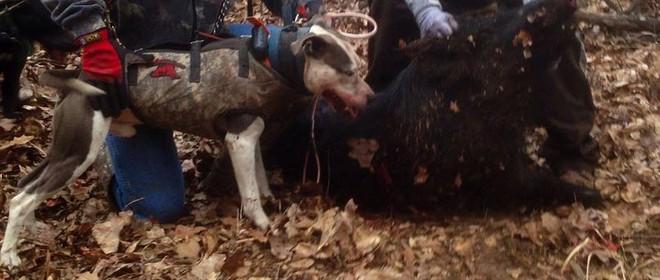 Cuộc chiến đẫm máu giữa lợn rừng và bầy chó săn: Định mệnh khó tránh! - Ảnh 2.