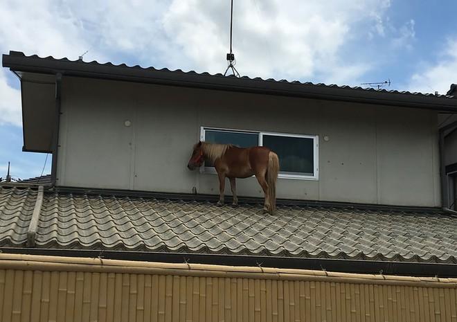 24h qua ảnh: Ngựa mắc kẹt trên mái nhà sau đợt lũ lụt kinh hoàng ở Nhật Bản - ảnh 7