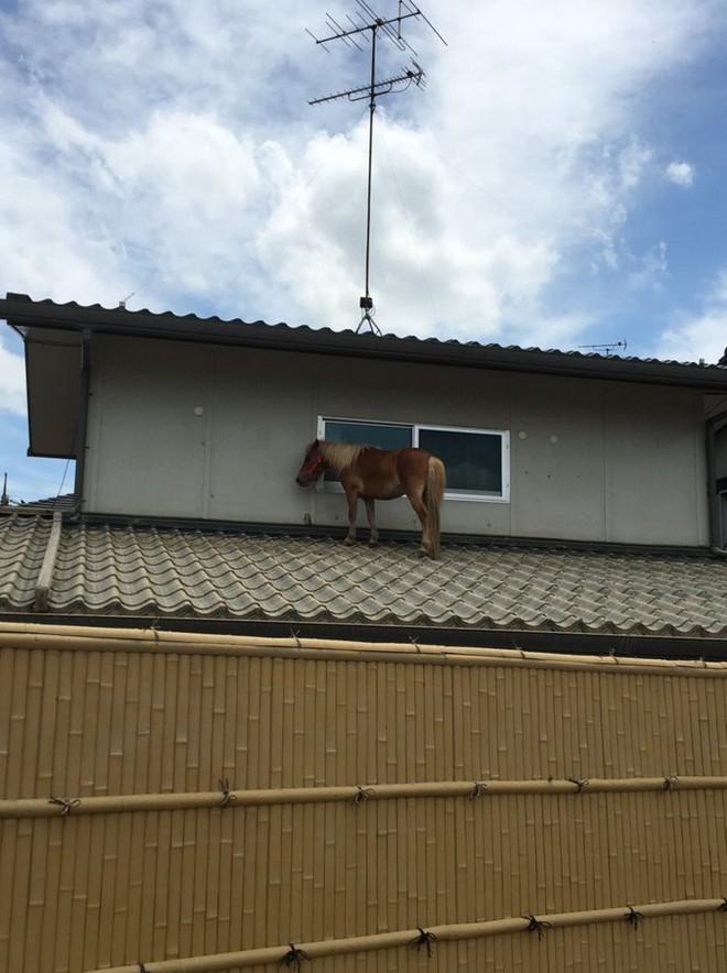 Chú ngựa đi lạc lên... mái nhà sau trận lũ quét ở Nhật Bản - Ảnh 1.
