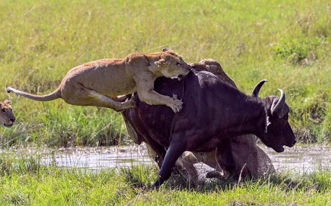 7 ngày qua ảnh: Đàn sư tử hợp sức hạ gục trâu rừng trên đồng cỏ - ảnh 3