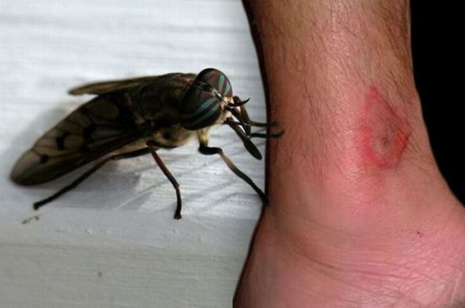 Nước Anh đối diện nguy cơ chết người do ruồi trâu ma cà rồng gây ra - Ảnh 2.