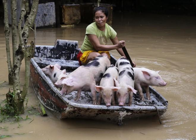 7 ngày qua ảnh: Người dân Philippines dùng thuyền sơ tán lợn khỏi vùng lũ lụt 3