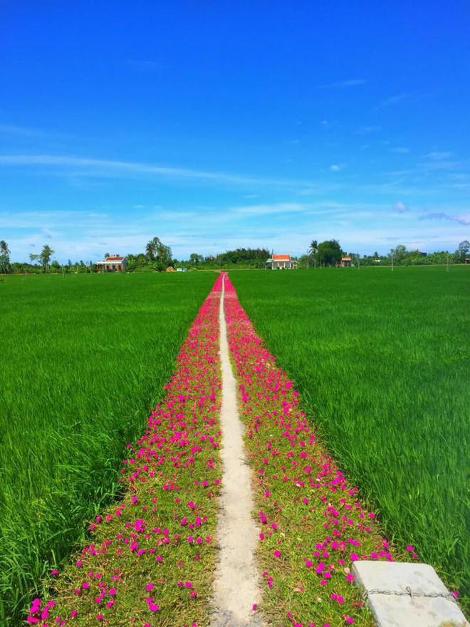 Con đường hoa mười giờ giữa 2 thửa ruộng đẹp như tranh khiến dân mạng ở Tiền Giang muốn đến check-in bằng được - Ảnh 1.