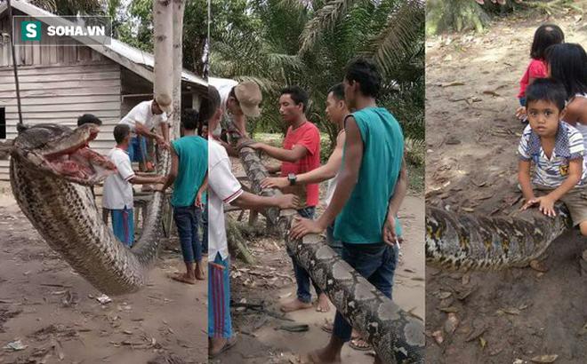 """""""Thạch Sanh Indonesia"""" tử chiến với mãng xà gần 8m: Chiến thắng nhưng suýt mất 1 tay"""