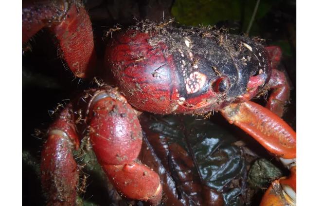 Loài cua đỏ huyền thoại của đảo Giáng Sinh đang lâm nguy và đây là cách khoa học bảo vệ chúng - Ảnh 2.