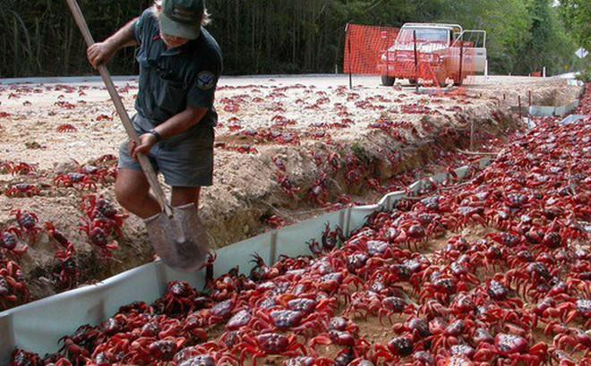 Loài cua đỏ huyền thoại của đảo Giáng Sinh đang lâm nguy và đây là cách khoa học bảo vệ chúng