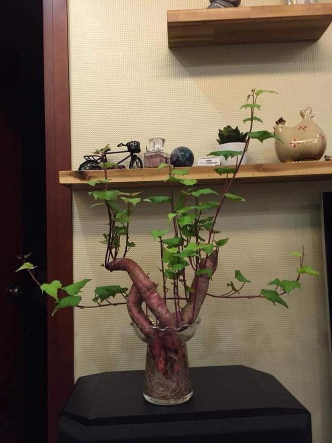 Đam mê bonsai nhưng kinh tế eo hẹp, cô nàng trồng củ khoai lang và đem lại kết quả bất ngờ - Ảnh 2.