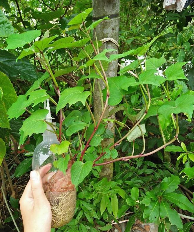 Đam mê bonsai nhưng kinh tế eo hẹp, cô nàng trồng củ khoai lang và đem lại kết quả bất ngờ - Ảnh 6.