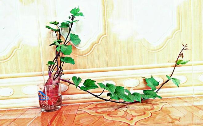 Đam mê bonsai nhưng kinh tế eo hẹp, cô nàng trồng củ khoai lang và đem lại kết quả bất ngờ - Ảnh 5.